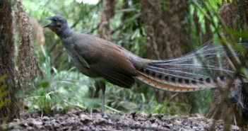 Leierschwanz-Vögel können Geräusche täuschend echt nachahmen; Rechte: dpa/Picture Alliance