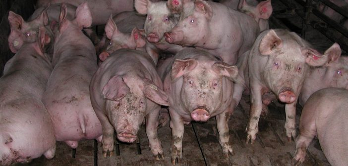 Schweine eng in einem Stall (Bild: imago)
