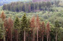 Abgestorbene Nadelbäume (Foto: imago)